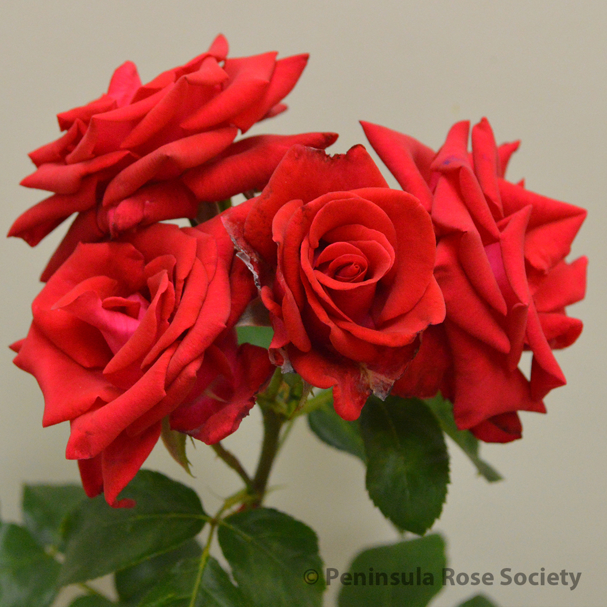 Diana Princess Of Wales Rose 2015 Annual Rose Show Results Horticulture Peninsula